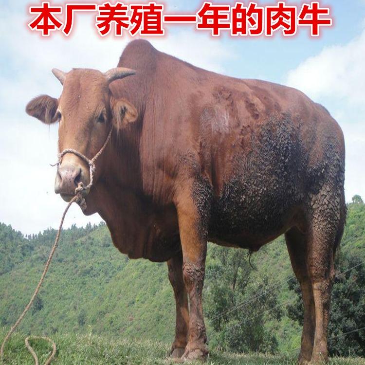 如何养殖肉牛效益高 纯种改良肉牛市场行情 近期肉牛涨势如何