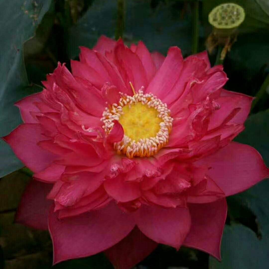观赏耐酸碱莲花