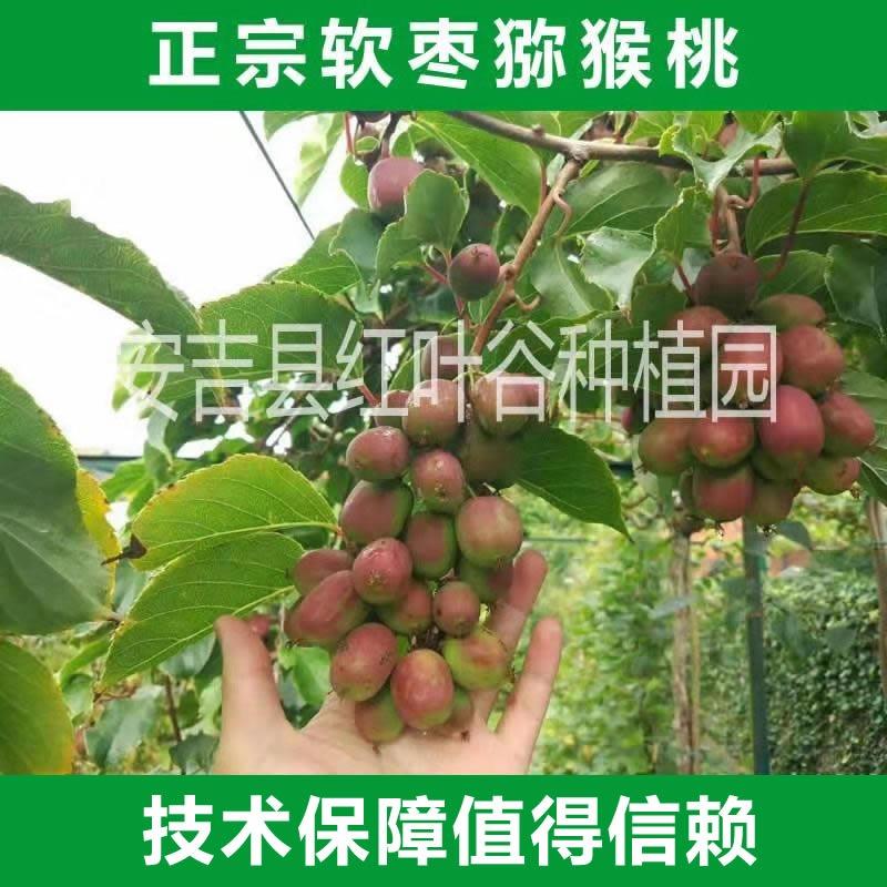 红心猕猴桃树苗 软枣猕猴桃苗 保证品种