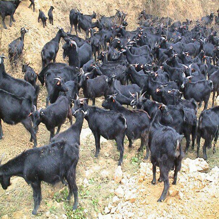 现在波尔山羊怎么样育肥才更好 如何养殖羊 白山羊羔价格