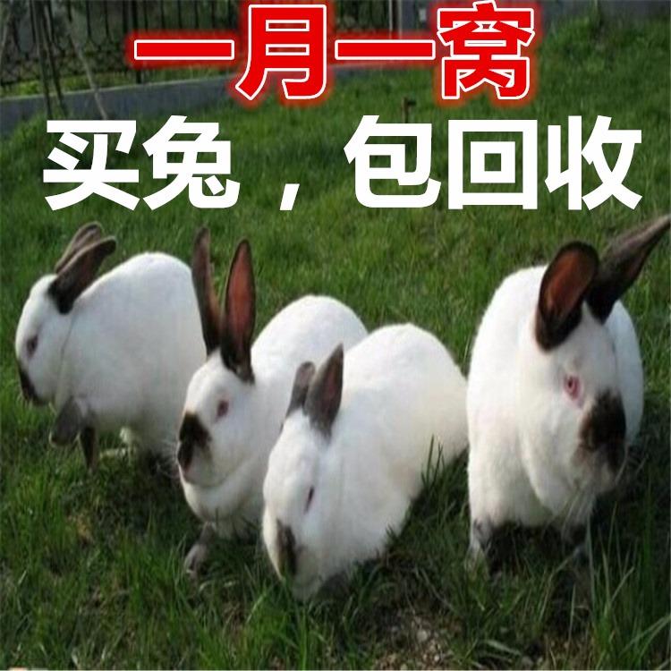 农村兔子养殖 农村兔子养殖厂家 兔子养殖价格 农村创业项目 2019必火创业项目
