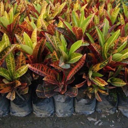 好客园艺 变色木 变叶木 15-50CM 源头厂家直销