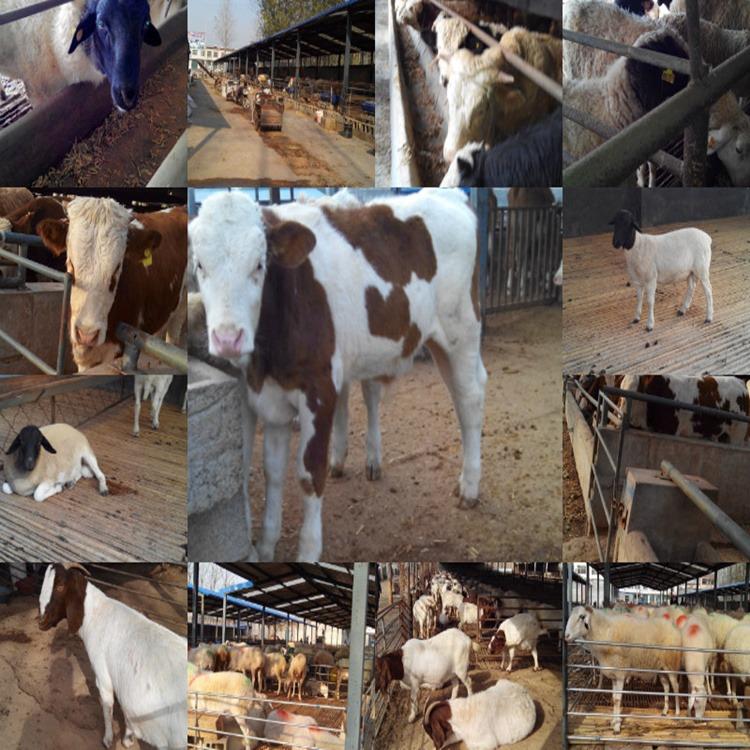 架子牛行情 西门塔尔牛行情 西门塔尔牛活牛价格