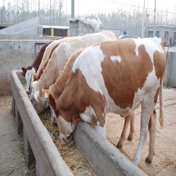 卖肉牛苗的在那里 农村养鲁西黄牛丢人吗 哪里销售牛种
