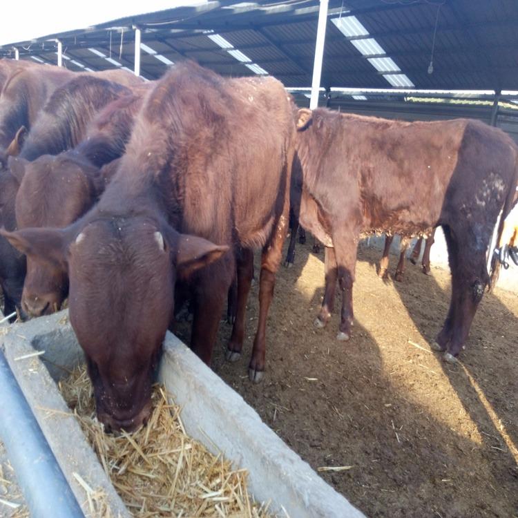 小黄牛多少钱一头 小黄牛多少钱一头厂家 小黄牛多少钱一头价格