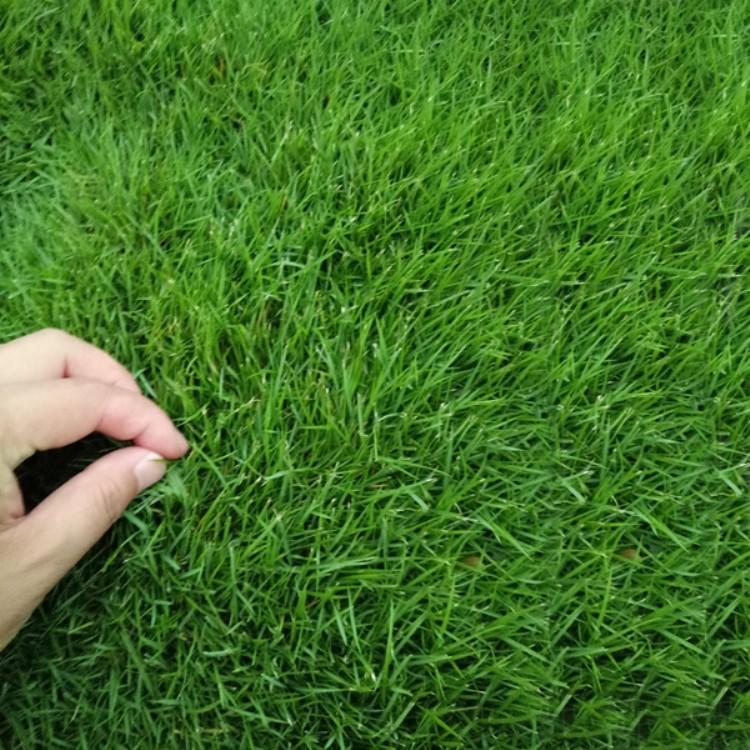 草籽早熟禾,草地早熟禾是什么
