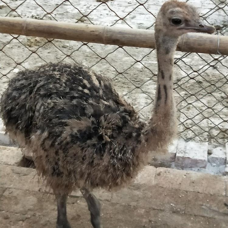 非洲鸵鸟苗价格   脱温鸵鸟苗养殖基地批发价   养殖鸵鸟苗价格非洲鸵鸟