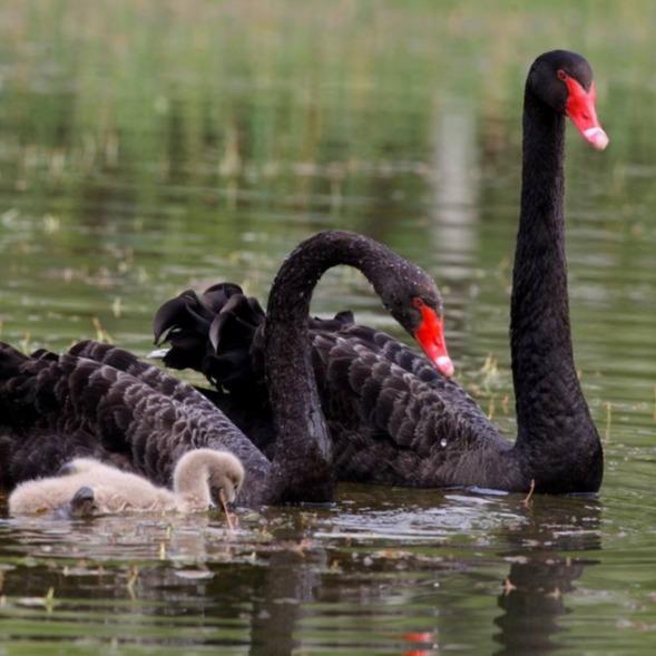山东黑天鹅养殖场 常年出售 黑天鹅 小鸵鸟苗矮马 下蛋的黑天鹅