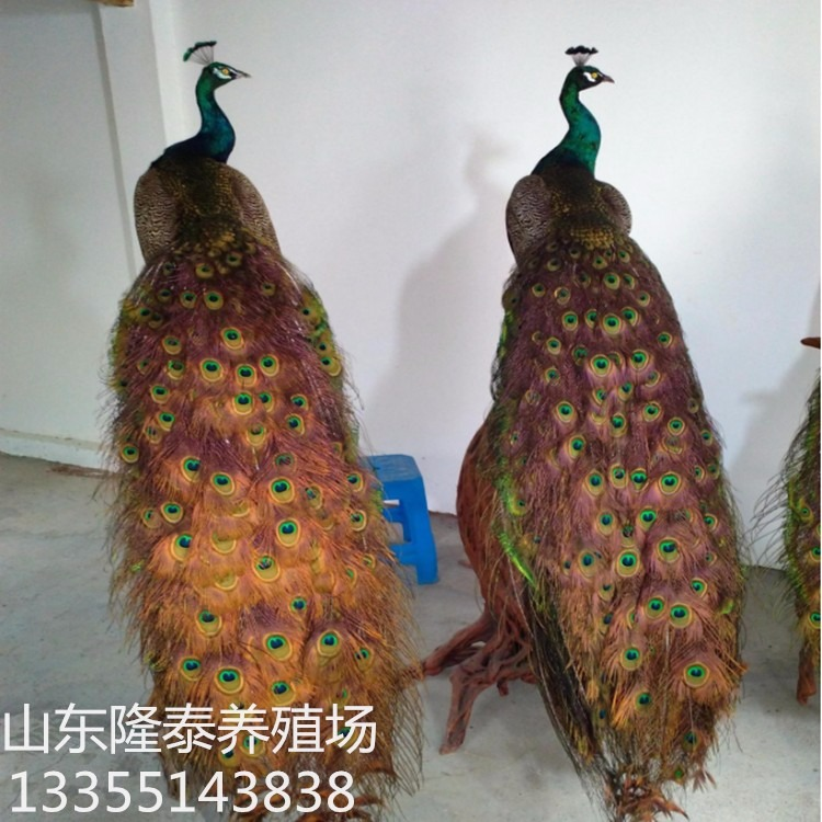 别墅里的孔雀标本价格 高档孔雀工艺品出售 加工蓝孔雀白孔雀标本