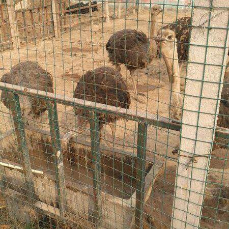 鸵鸟苗价格 鸵鸟苗出售  山东附近哪里有鸵鸟 鸵鸟养殖技术