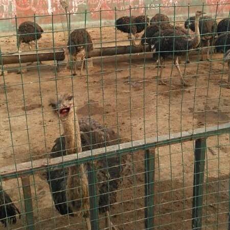 非洲鸵鸟苗的价格 脱温鸵鸟苗价格 鸵鸟苗价格鸵鸟养殖技术