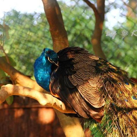 孔雀养殖需要办证吗 孔雀可以养殖吗 孔雀多少钱 孔雀可以吃吗 孔雀的营养价值 成年孔雀价格