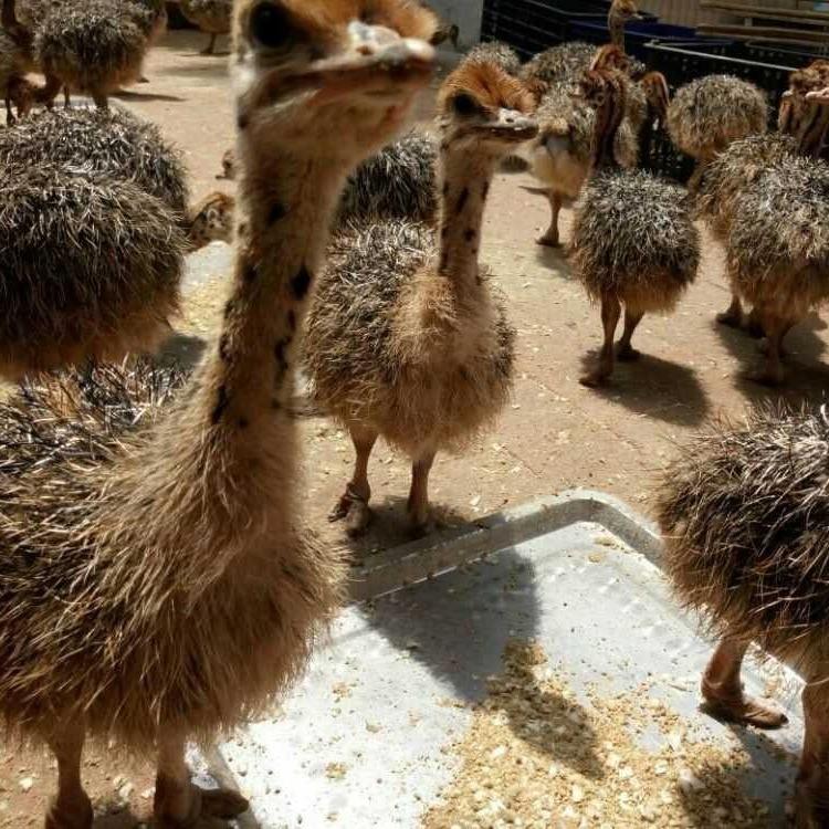 祥宸养殖场有鸵鸟苗价格多少钱一只 澳洲鸵鸟多少钱一只 鸵鸟批发价格多少钱
