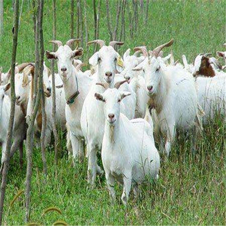 种羊好吗_种羊好吗_哪家强