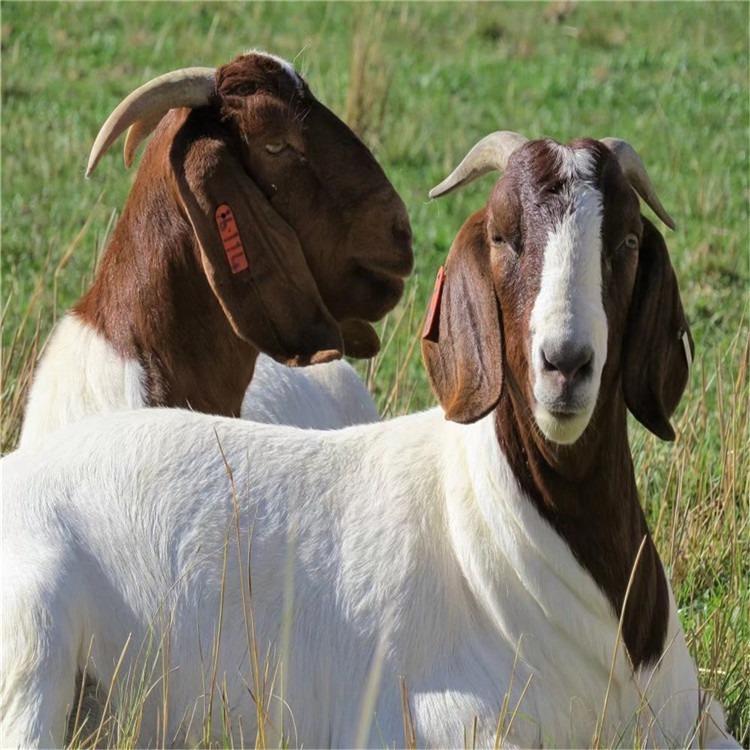 什么品种的种羊好_什么品种的种羊好_哪家好