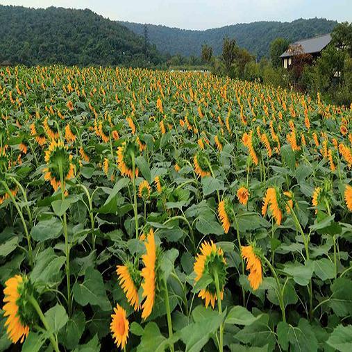 绿化种子批发 中华结缕草草 中华结缕草草哪里有卖的