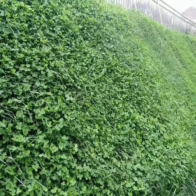 日本结楼草种子价格 日本结楼草种子批发 日本结楼草种子 山东万春种业 厂家批发价格