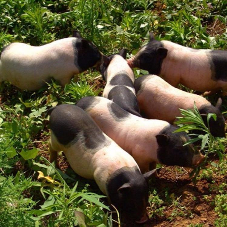 巴马香猪市场价格 山东巴马香猪 巴马香猪种猪