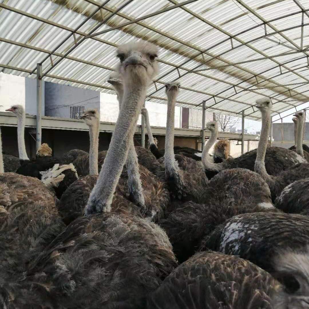 一年鸵鸟苗多少钱一只 非洲蓝颈鸵鸟价格 养一只鸵鸟需要多少成本 养殖鸵鸟利润有多少