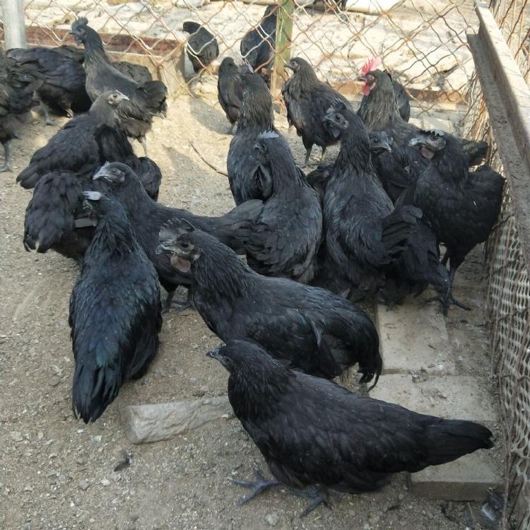 五黑鸡苗价格多少钱一只  绿壳蛋鸡苗  几只起批