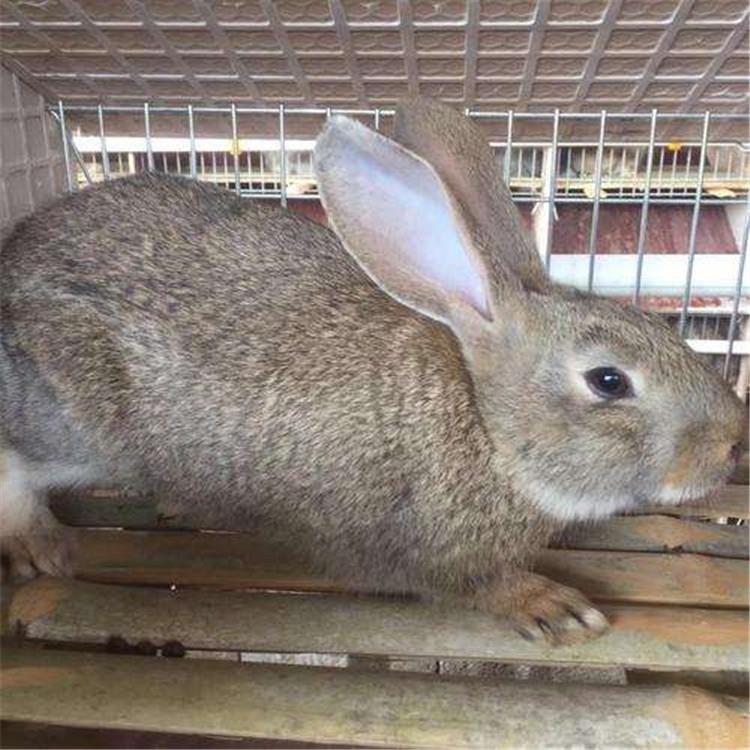 常年回收比利时兔比利时幼兔比利时兔多少钱一斤