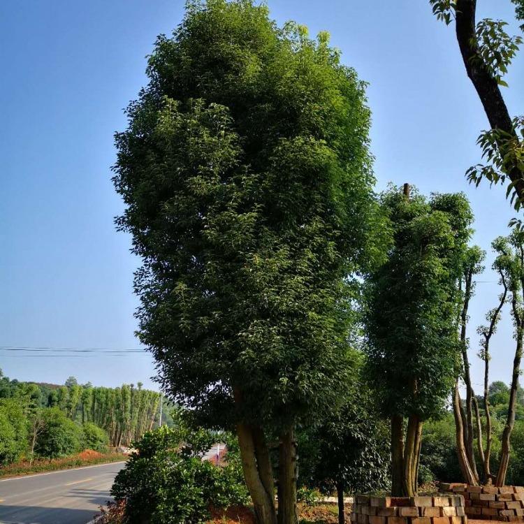 种植全冠香樟 全冠香樟价格 精品湖南香樟树的价格批发