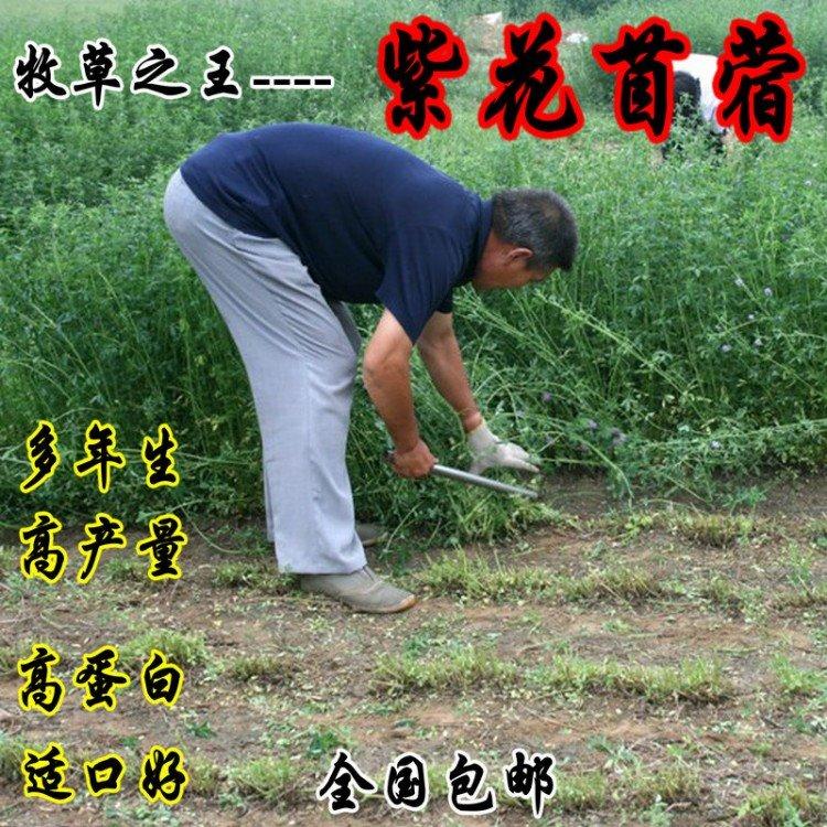 特价销售紫花苜蓿种子 苜蓿种子 紫花苜蓿种子价格 紫花苜蓿种子批发 货到付款 量大从优 绿肥 牧草专用