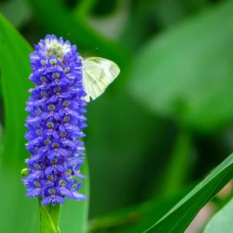 【永信水生植物】大量出售梭鱼草,梭鱼草价格,梭鱼草基地,梭鱼草价格优惠便宜