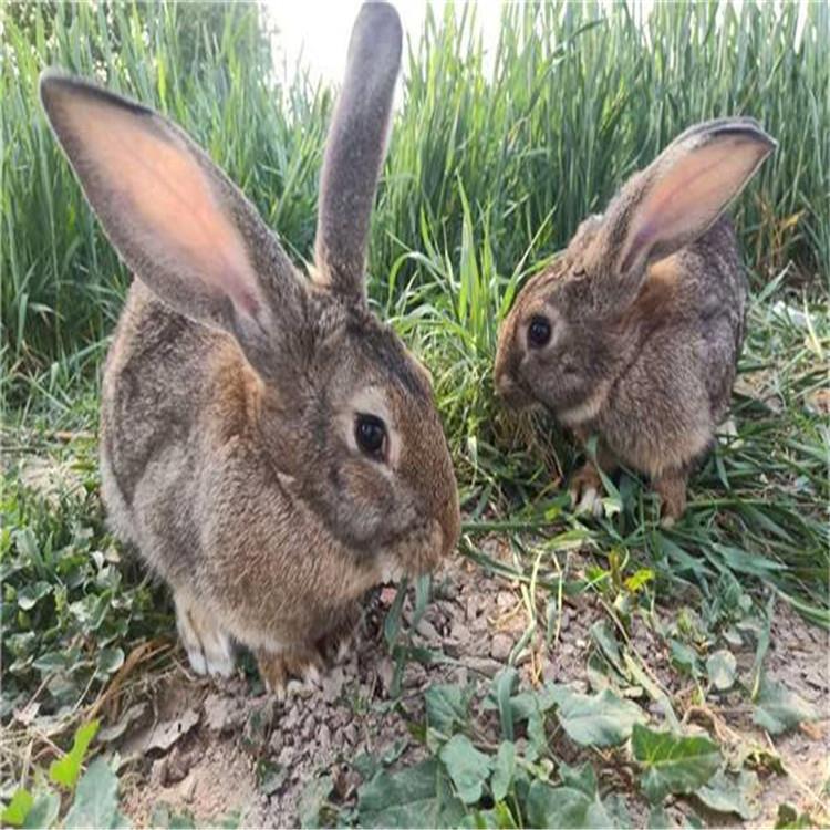 包教养殖比利时兔比利时兔价格比利时兔养殖