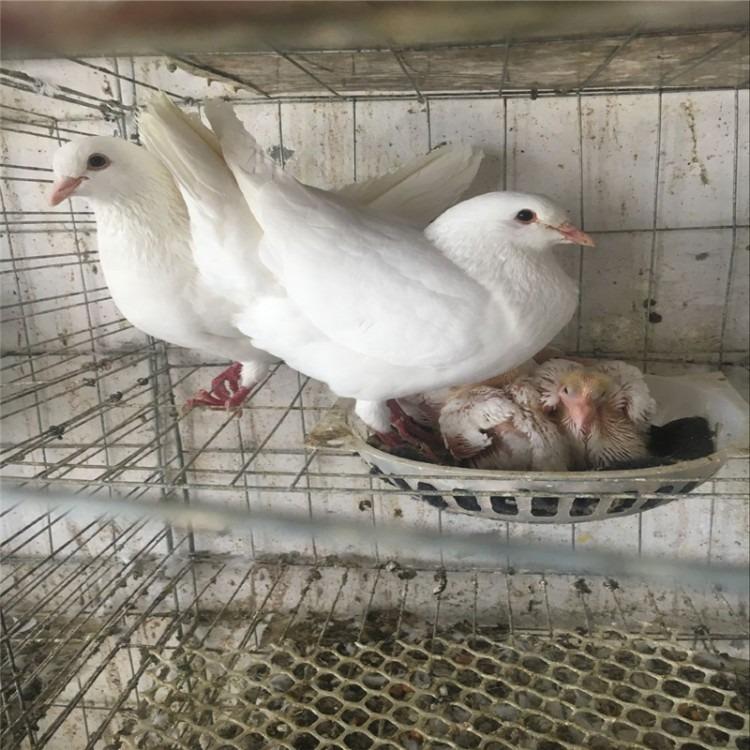 白羽王 白羽王种鸽 白羽王鸽子 白羽王供应 白羽王出售 白羽鸽王