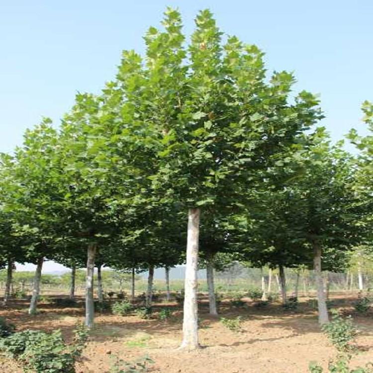 行道树苗,各种绿化苗木法桐 15公分