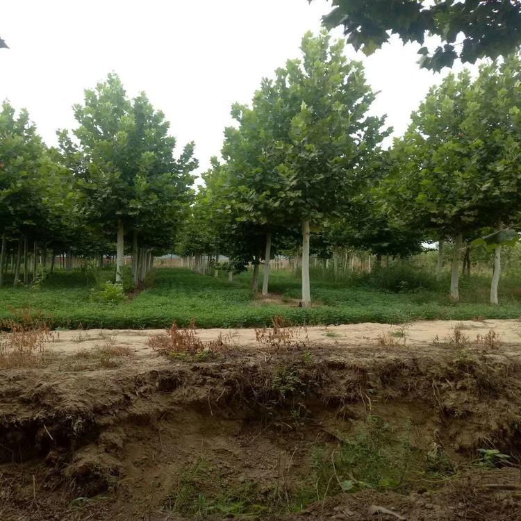 绿化苗木速生法桐,工程法桐苗 20公分