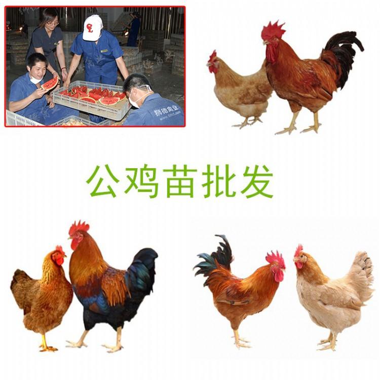 火鸡苗价格行情 全国运输 贵阳鸡苗孵化场 快大型鸡苗