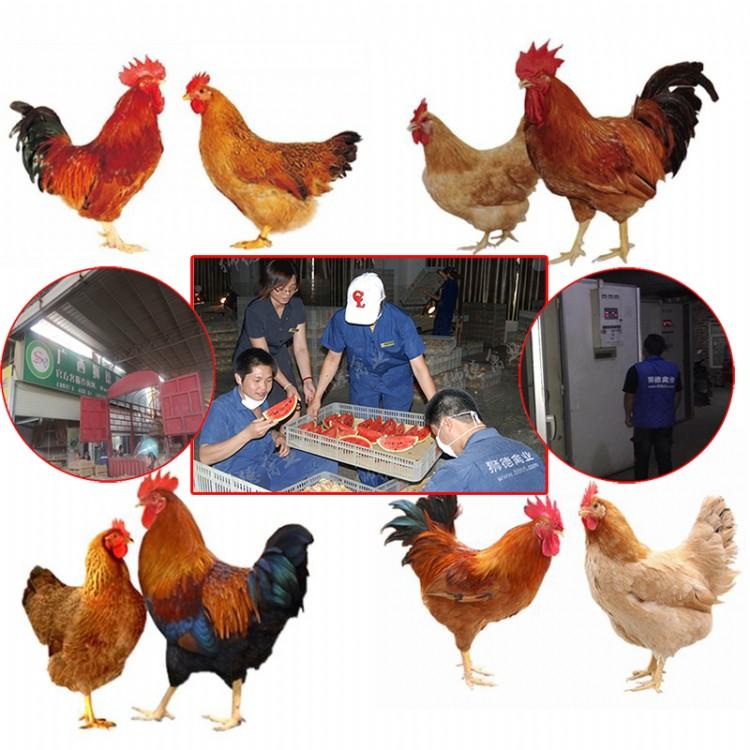 五黑绿壳蛋鸡苗价格 全国运输 南京土鸡苗批发价格 现在的鸡苗价格