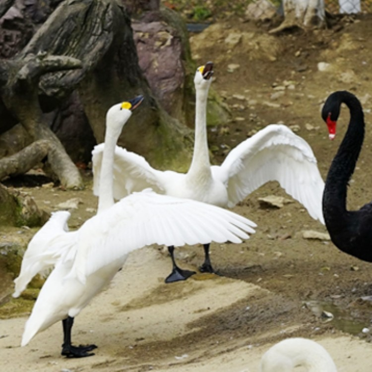 黑天鹅,白天鹅养殖黑天鹅,白天鹅养殖 出售黑天鹅,白天鹅