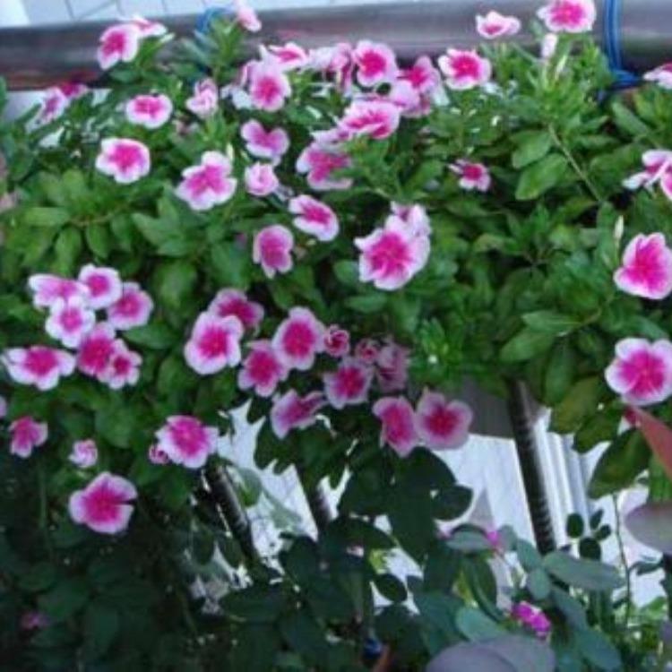 长春花种子 长春花种子批发 优质长春花种子