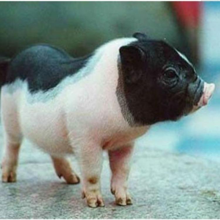 巴马香猪_巴马香猪批发商_巴马香猪哪里有卖