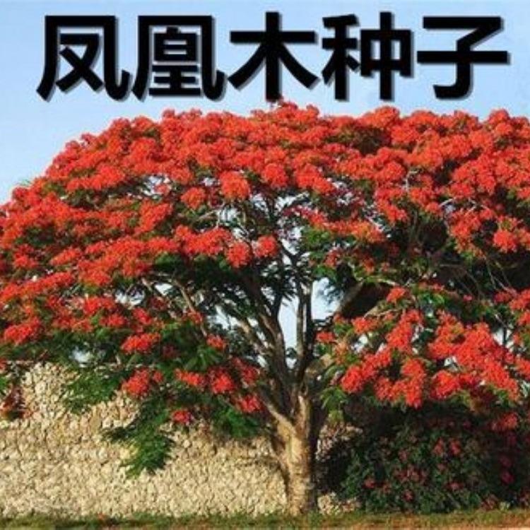 凤凰木 凤凰木农户种植直销 凤凰木假植苗树冠高大 精品凤凰木袋苗