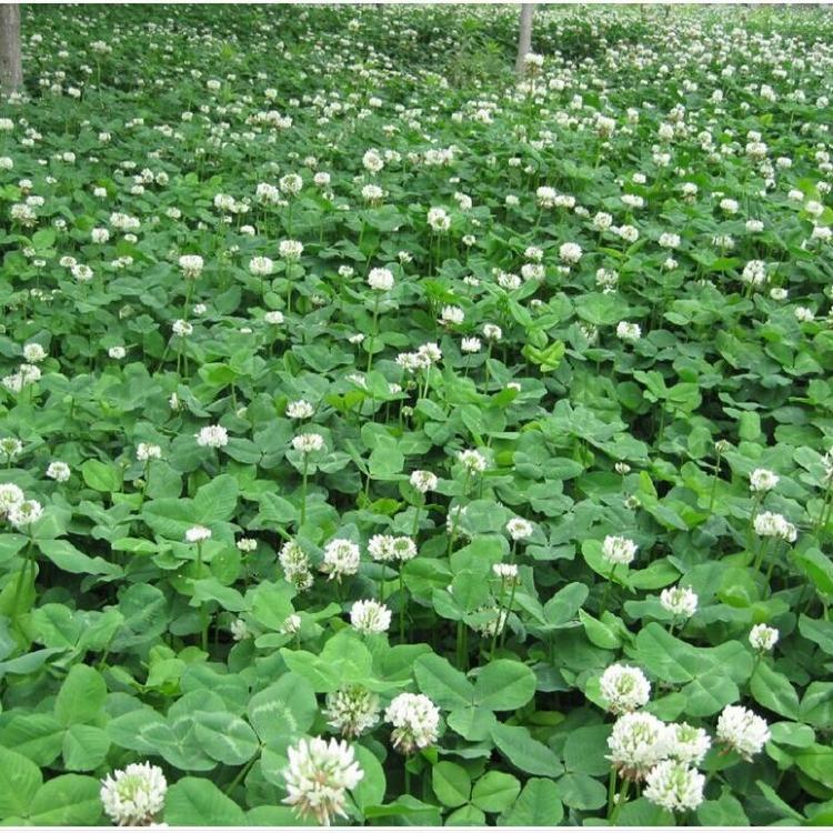 毛苕子种子 紫花苜蓿种子 紫云英种子 田菁种子  三叶草种子 绿肥牧草种子批发