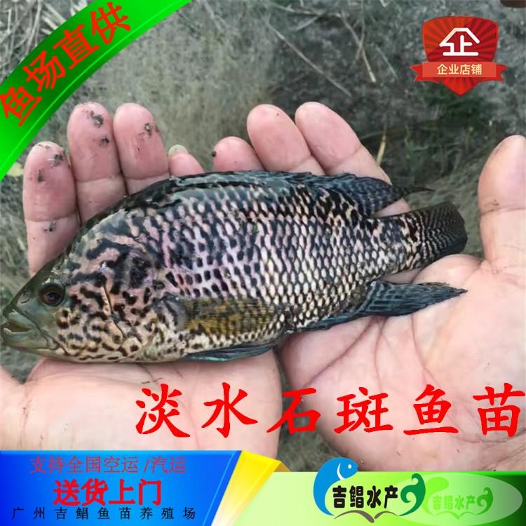 潮州花斑鱼苗-吉鲳水产批发养殖技术提供花斑鱼苗