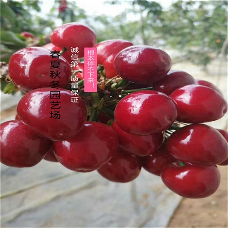 现场看货-红冠 樱桃苗多少钱一棵,红冠 樱桃苗出售各种品种