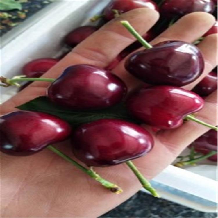 苗木基地】樱桃苗,红手球樱桃苗基地,红手球樱桃苗全国最大种植基地
