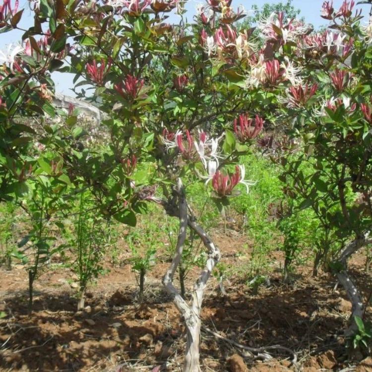 优质高产金银花苗,回收干花,提供技术,平邑金银花苗木之乡
