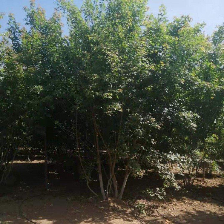 大冠丛生五角枫高度6.5米