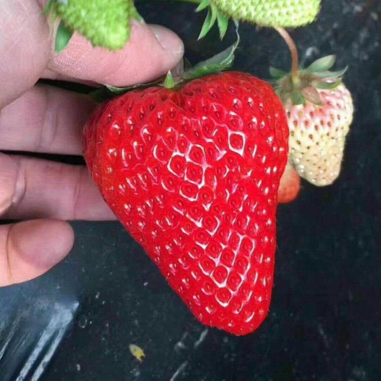 山东草莓苗基地 批发销售甜宝草莓苗 妙香7号草莓苗 白草莓苗