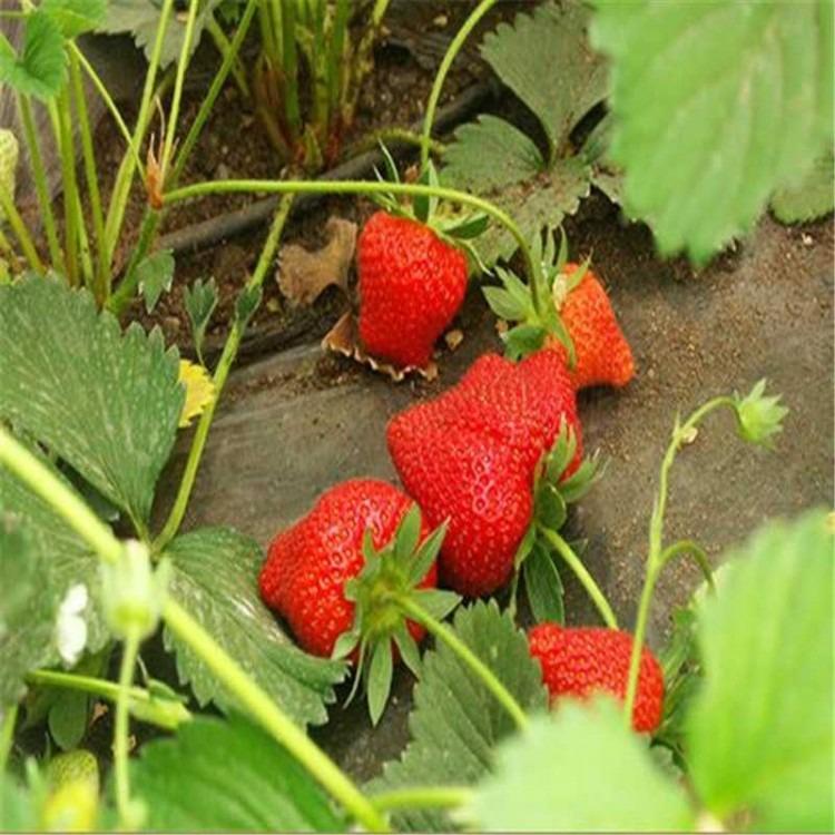 山东草莓苗产地 供应全明星草莓苗  硬质草莓品种 一手货源 现场起苗 当年结果