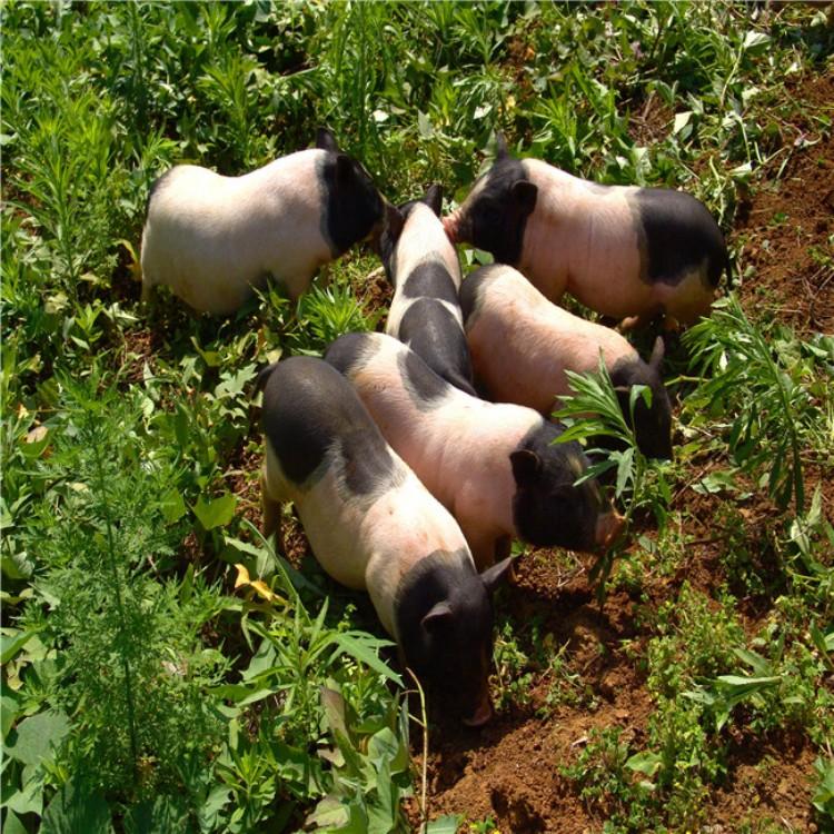 香猪种猪,广西巴马香猪,巴马香猪