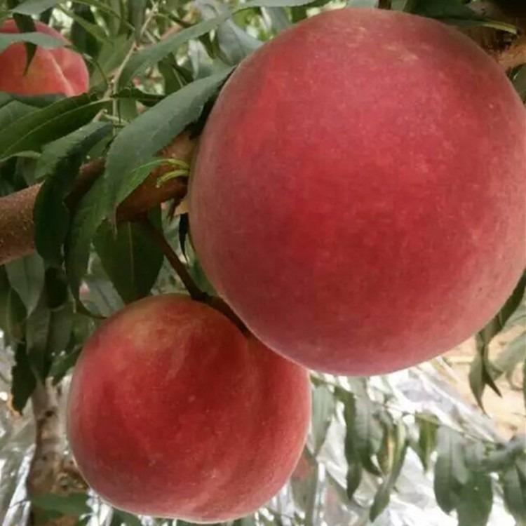 桃树苗基地 供应映霜红桃树苗  基地直销 保证品种 桃树苗价格