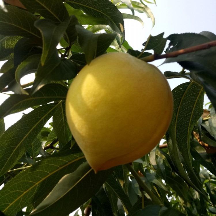 桃树苗产地直销 锦春黄桃桃树苗价格 锦春黄桃桃树苗哪里有卖 百益苗木
