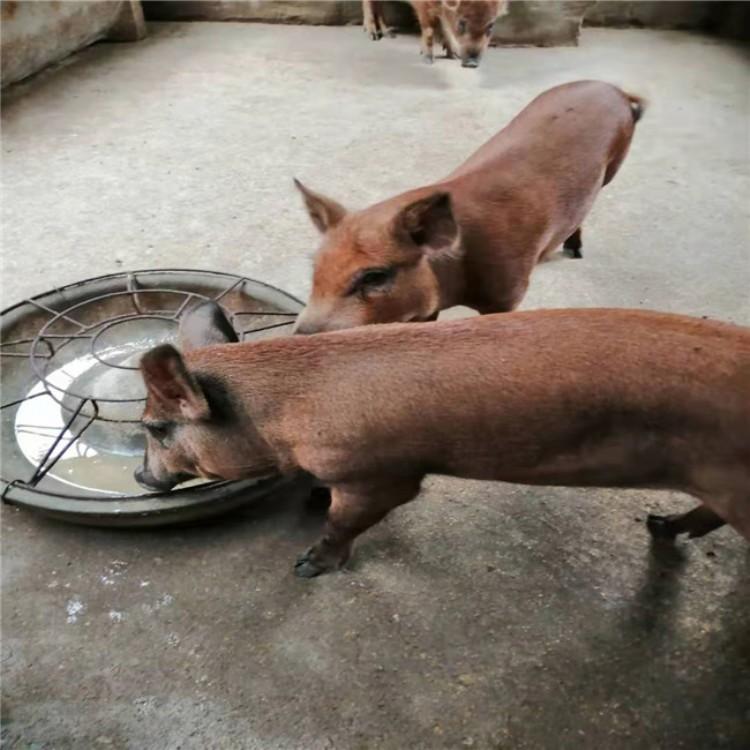 野猪养殖野猪养殖场野猪养殖场祥宸养殖场全国发货